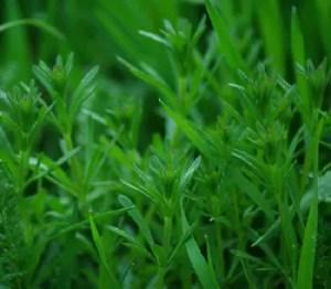 Cleavers (Galium aparine), packet of 30 seeds, organic