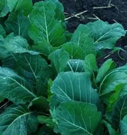 Collard Greens, Champion (Brassica oleracea acephala), packet of 200 seeds, organic