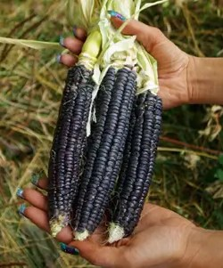 Corn, Black Aztec (Zea mays), packet of 50 seeds, organic