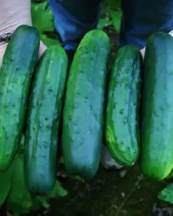 Cucumber, Marketmore (Cucumis sativus), packet of 30 seeds, organic