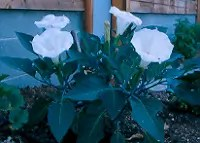 Datura, Moonflower (Datura inoxia), packet of 20 seeds, organic