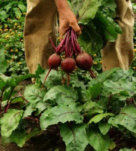 Beet, Detroit Dark Red (Beta vulgaris), Big 10 g packet of ~ 700 seeds, organic
