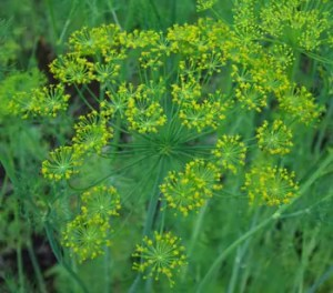 Dill, Bouquet (Anethum graveolens), packet of 200 seeds, organic