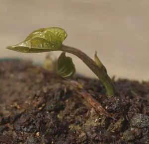 Wild Yam, Chinese (Dioscorea batatas), live aerial tubers, organic [INTL NO]