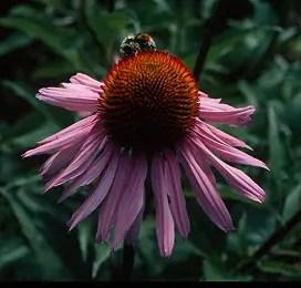 Echinacea purpurea, packet of 100 seeds, organic