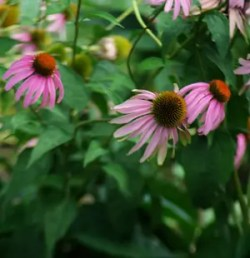 Echinacea purpurea, packet of 100 seeds, organic