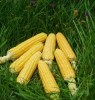 Corn, Fisher's Earliest (Zea mays), packet of 100 seeds, organic