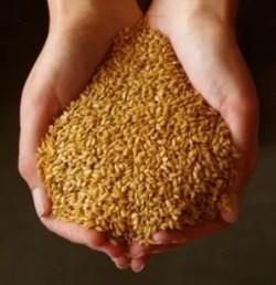 Flax, Golden (Linum usitatissimum), organic