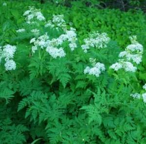 Sweet Cicily (Myrrhis odorata), packet of 10 seeds, organic