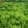 Basil, Genovese (Ocimum basilicum), packet of 100 seeds, organic