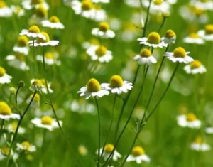 Chamomile, German (Matricaria recutita), packet of 500 seeds, organic