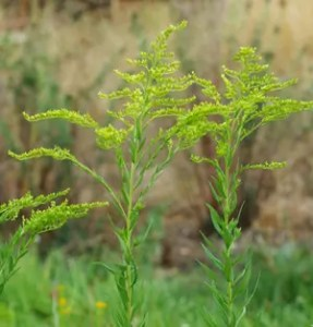 Goldenrod, Official (Solidago canadensis gigantea), packet of 100 seeds, organic