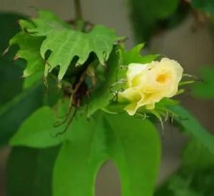 Cotton, Tree (Gossypium arboreum), packet of 5 seeds, organic