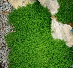 Rupturewort (Herniaria glabra), packet of 100 seeds, organic