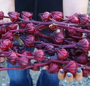 Hibiscus (Hibiscus sabdariffa), packet of 10 seeds, organic