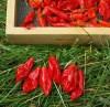 Pepper, Hot Paper Lantern Habanero (Capsicum chinense), packet of 20 seeds, organic