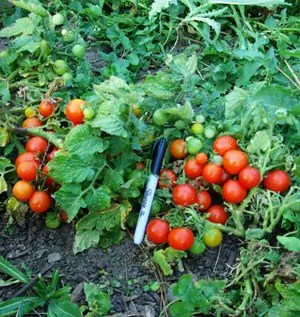 Tomato, House (Lycopersicon esculentum), packet of 10 seeds, organic