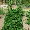 Bean, Cherokee Trail of Tears (Phaseolus vulgaris), packet of 20 seeds, organic