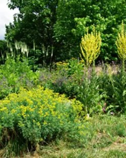 Mullein, Greek (Verbascum olympicum), packet of 100 seeds, organic