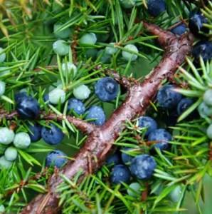 Juniper, Common (Juniperus communis), packet of 50 seeds, organic