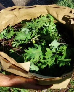 Kale, Winter Red (Brassica napus), packet of 200 seeds, organic