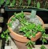 Kanna (Scletium tortuosum), packet of 10 seeds