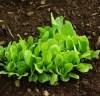 Lettuce, Crisp Mint Romaine (Lactuca sativa), packet of 200 seeds, organic