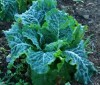 Lettuce, Crisp Mint Romaine (Lactuca sativa), packet of 200 seeds, organic