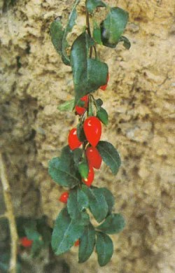 Goji, Red (Lycium barbarum), packet of 100 seeds in dried fruit, organic