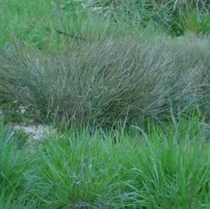 Ma-huang (Ephedra sinica), packet of 30 seeds [AUS/NZ NO]