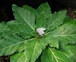 Mandrake, Autumn (Mandragora autumnalis), packet of 13 seeds