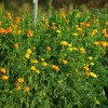 "Marigold, African ""Tururu"" (Tagetes erecta), packet of 50 seeds, organic"