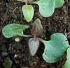 Four O'Clock, High Desert (Mirabilis multiflora), packet of 7 seeds