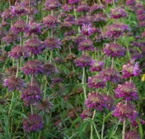 Bergamot, Lemon (Monarda citriodora), packet of 100 seeds