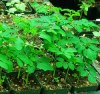 Moringa (Moringa oleifera), packet of 10 large seeds