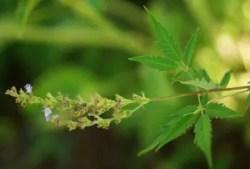 Nirgundi (Vitex negundo), packet of 50 seeds, organic