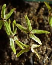 Ololiuqui (Rivea corymbosa), packet of 10 seeds