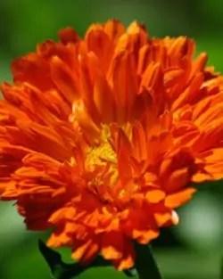 Calendula, Orange (Calendula officinalis), packet of 50 seeds, organic