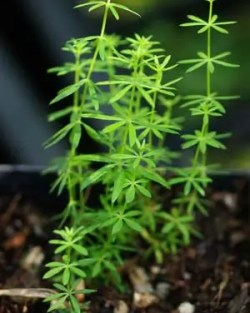 Our Lady's Bedstraw (Galium verum), packet of 100 seeds