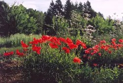Poppy, Flanders (Papaver rhoeas), packet of 300 seeds