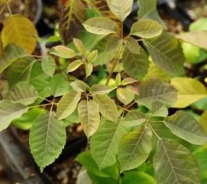 Pau d'Arco (Tabebuia impetiginosa), packet of 10 seeds