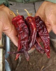 Pepper, Espanola (Capsicum annuum), packet of 50 seeds, organic
