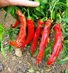 Pepper, Paprika (Capsicum annuum), packet of 50 seeds, organic
