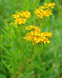 Tarragon, Mexican (Tagetes lucida), packet of 30 seeds, organic