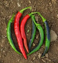 Pepper, Mboga (Capsicum frutescens) , packet of 50 seeds, organic