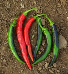 Pepper, Mboga (Capsicum frutescens) , packet of 50 seeds, organic