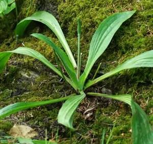 Plantain, Saline (Plantago eriopoda), packet of 50 seeds