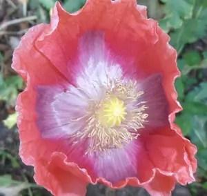 Poppy, Giant Pod (Papaver somniferum), packet of 100 seeds