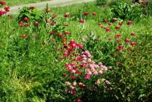 Pyrethrum, Painted Daisy (Chrysanthemum coccineum), packet of 50 seeds, organic