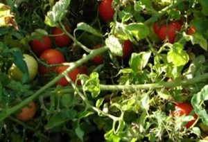 Tomato, Red Rock Paste (Lycopersicon esculentum), packet of 30 seeds, organic
